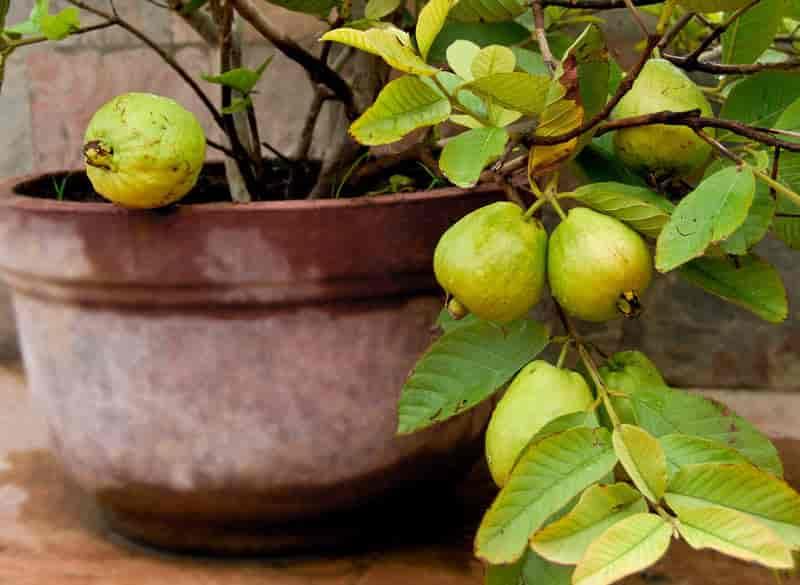 أوراق الجوافة لتسكين الم الاسنان فورا