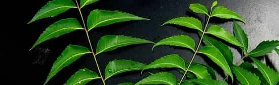 خلطة نبات النيم الهندي لتطويل الشعر وتنعيمه