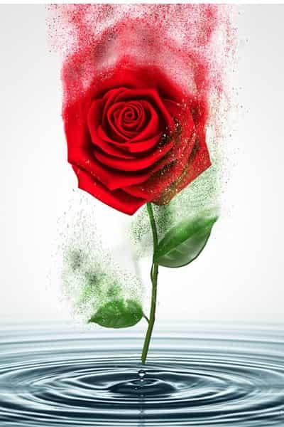فوائد ماء الورد للوجه وطريقة استخدامه