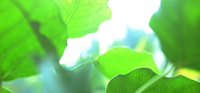 علاج الم الاسنان باعشاب النيم